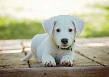 best carpet cleaner for dog urine